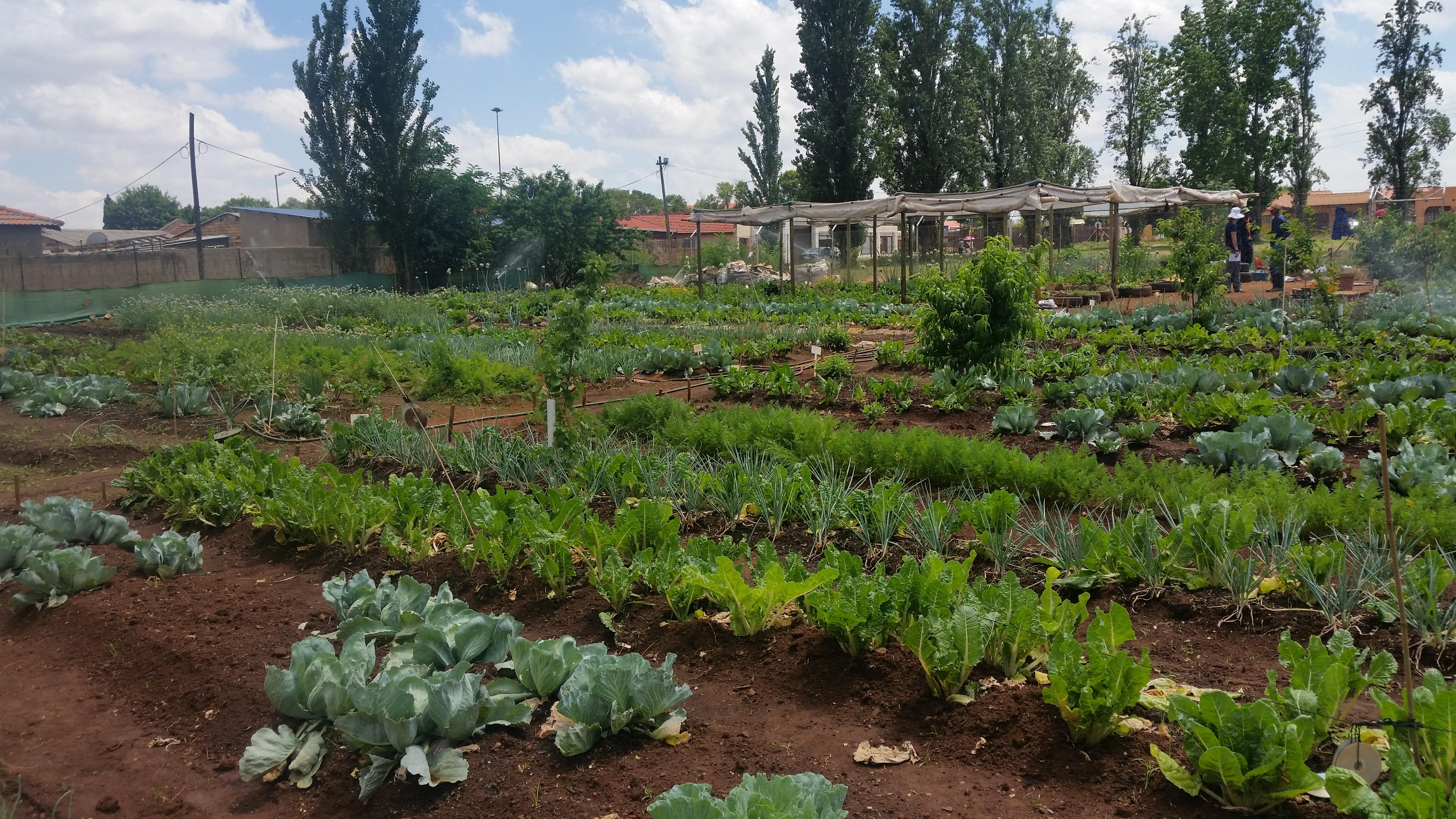 Sediba Thuto School Community Vegetable Garden Boikanyo